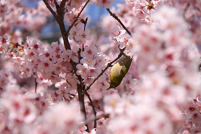 Cute Mejiro bird enjoying itself amongst the Kanzakura flowers
