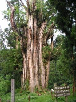 chuubu - Gifu-ken, Mount Haku national park, Itoshiro No Osugi (albero di 1800 anni)